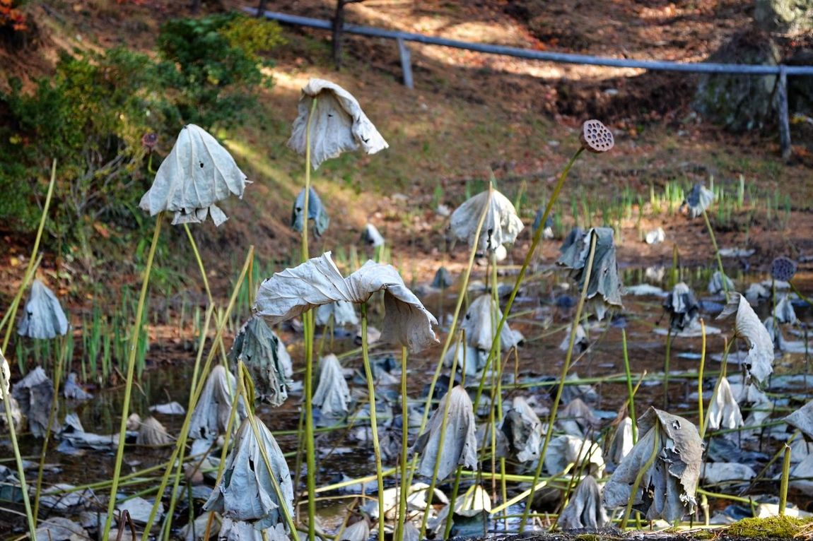 Autumn Iwate Lotus Nature No People Outdoors Tohno(遠野) 岩手 秋 蓮