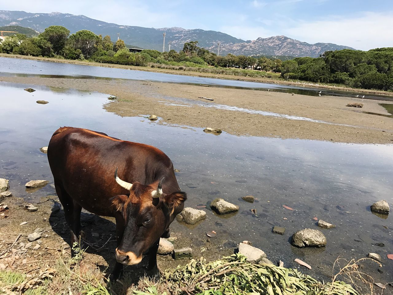Corsica Cow Corse Domestic Animals Animal Themes Mammal Livestock No People Cattle One Animal Mountain Day Outdoors Nature Water Buffalo Water Lake Highland Cattle Sky