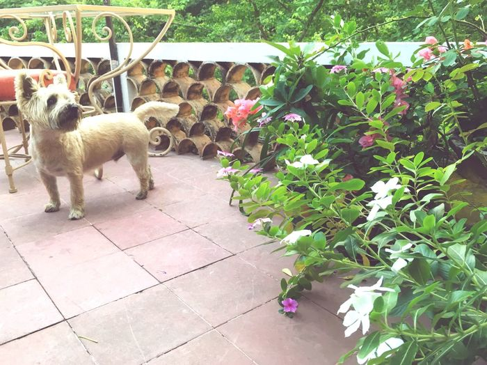 Cairn Terrier in garden Domestic Animals Animal Themes Pets Dog Mammal Plant Leaf Nature No People One Animal Day Outdoors Scottish Terrier Delicate Flowers Pet Scene Pet Photography  Pets Corner Petals Pet Travel Cairn Terriers