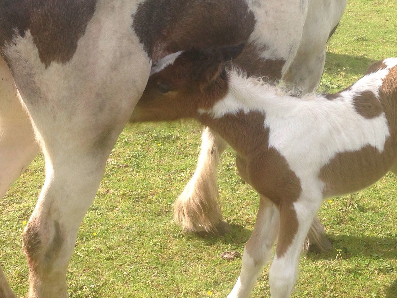 First Milk Animal Themes Two Animals Field Zoology Horse Togetherness Foal Young Animal Horses Newborn Animals Fauna