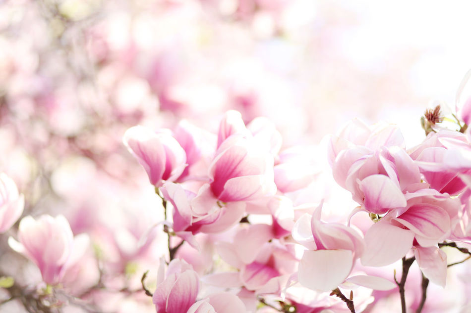 Beauty In Nature Blossom Close-up Flower Flower Head Fragility Freshness Growth Magnolia Magnolia Nature Pink Color Plant Springtime Tree
