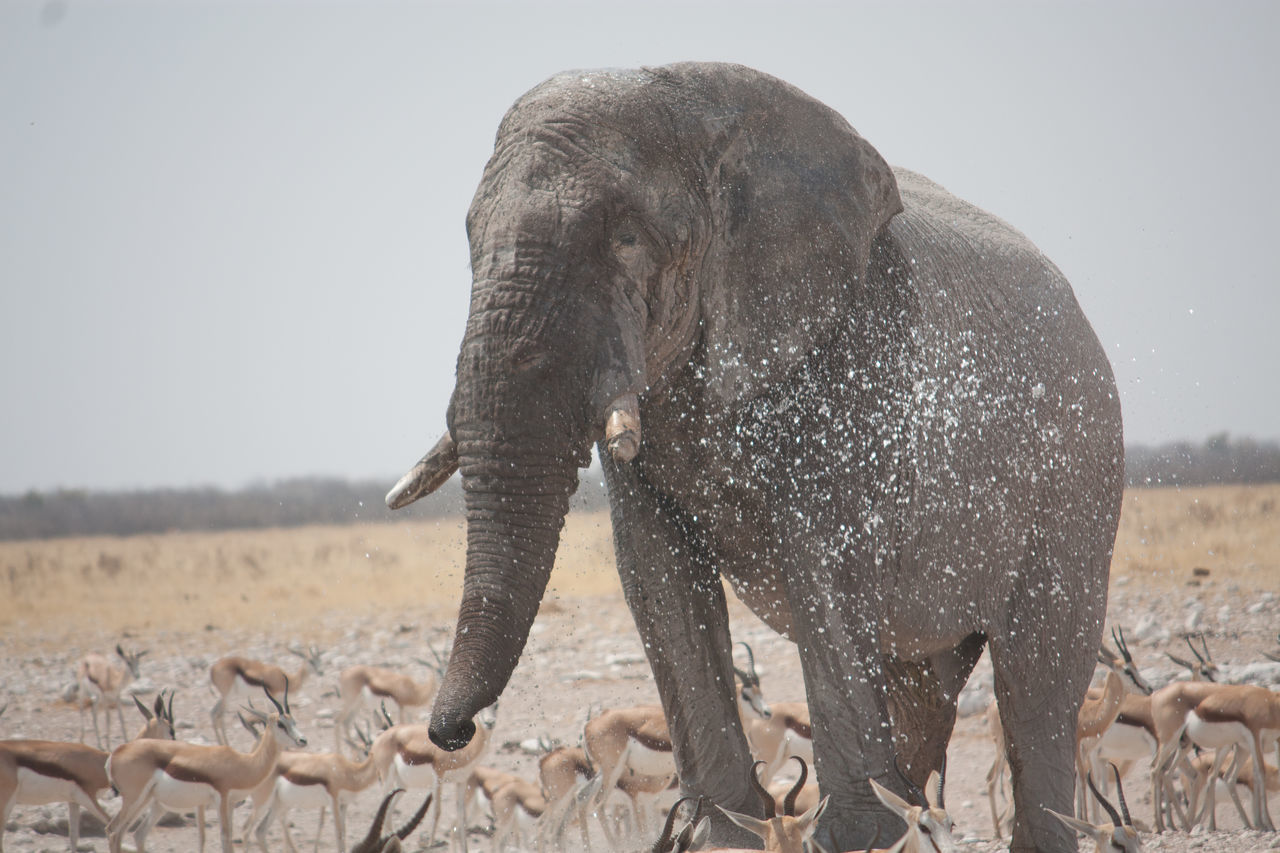 Beautiful stock photos of elephant, Animals In The Wild, Antelope, Arid Climate, Beauty In Nature