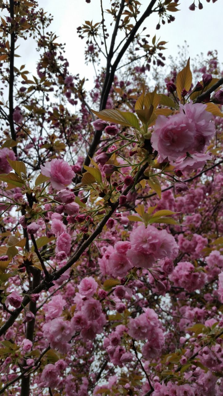 flower, blossom, growth, nature, fragility, pink color, beauty in nature, tree, springtime, freshness, branch, no people, petal, backgrounds, full frame, blooming, outdoors, day, close-up, flower head