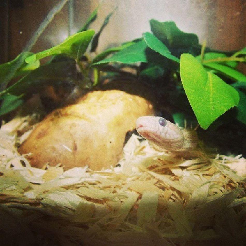 Opalcornsnake Belladonna Littlecorn Cornsnake snakesofinstagram reptilesofinstagram