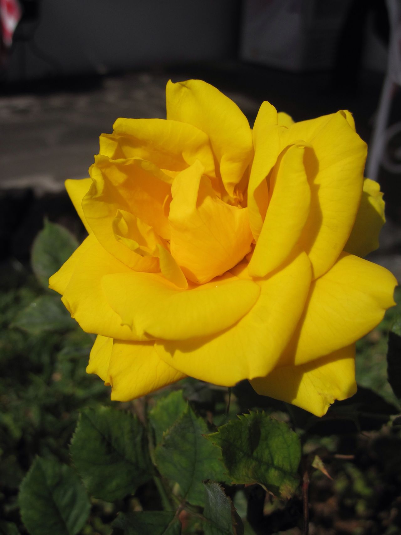Yellow Yellow Flower Rose - Flower Roses Rose🌹 Yellow Rose Flower Flower Head