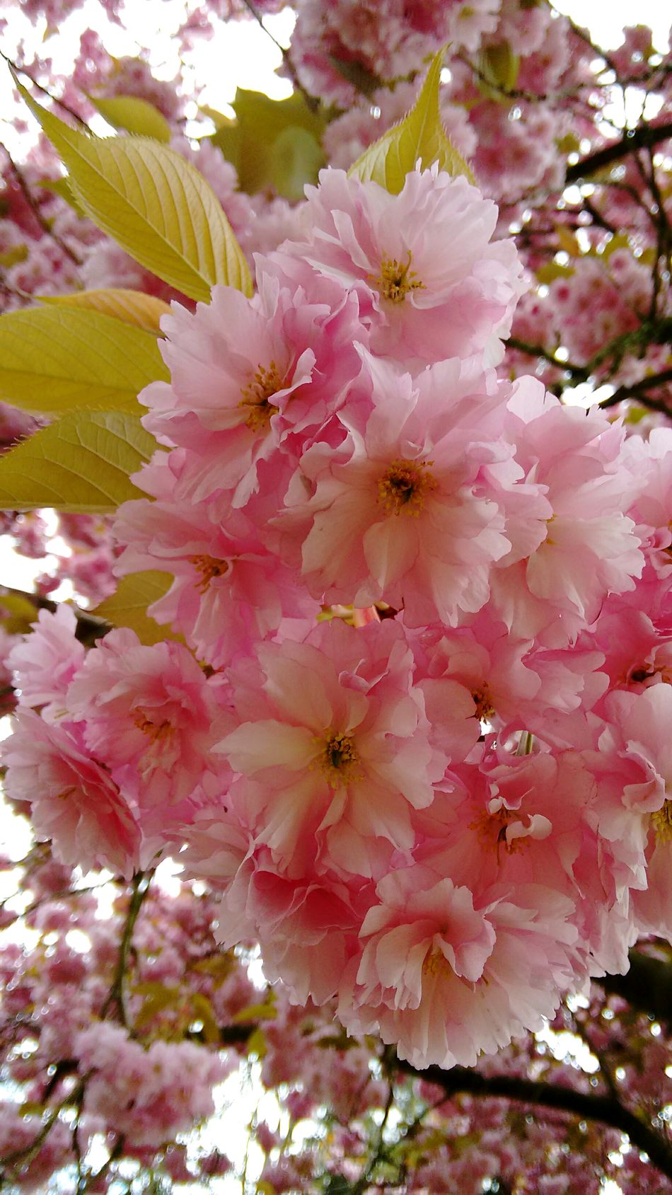 Flower Nature Beauty In Nature Blossom Pink Color Fragility Freshness Botany No People Growth Plant Close-up Springtime Outdoors Petal Day Flower Head Tranquility Branch Tree EyeEm Nature Lovers Nature_collection Cherry Blossoms