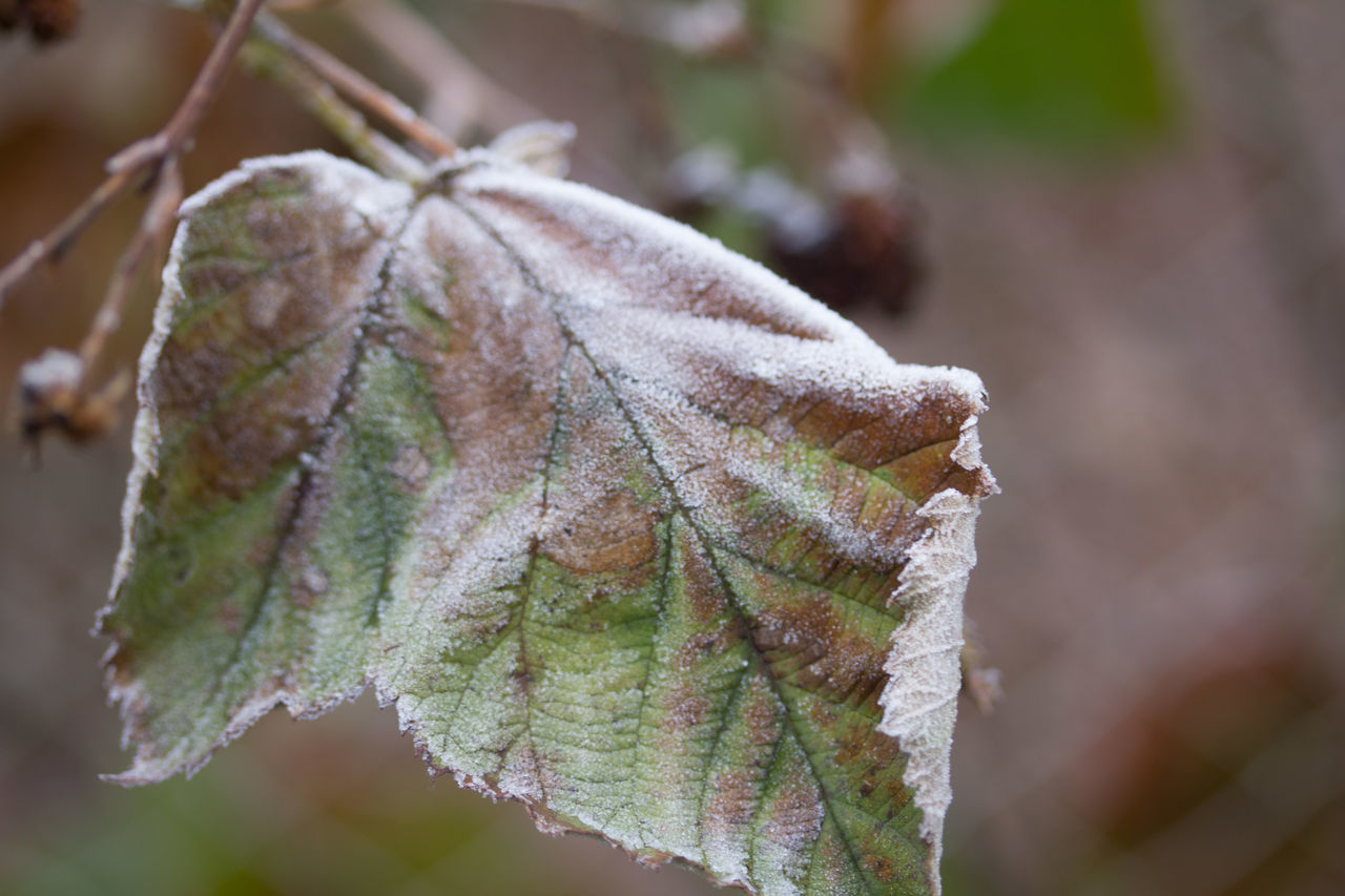 leaf, nature, autumn, close-up, beauty in nature, day, focus on foreground, outdoors, cold temperature, change, green color, plant, no people, fragility, winter, growth, maple leaf, freshness, maple