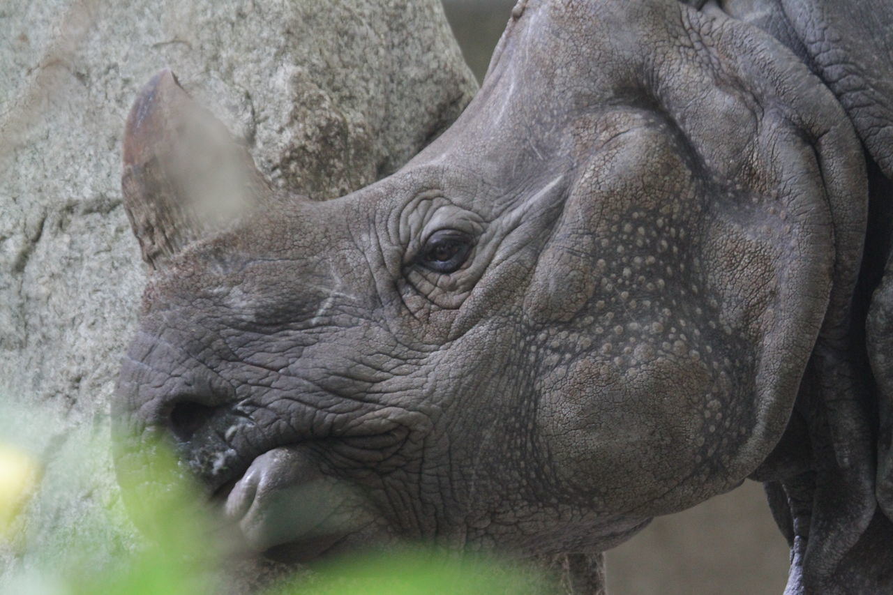 Animal Themes Animals In The Wild Close-up Mammal One Animal Outdoors Rhino Rhino Head Rhinoceros