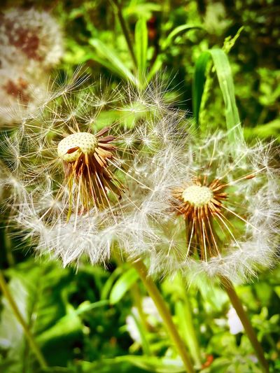 Flower Dandelion Nature Growth Plant Fragility Focus On Foreground Beauty In Nature Close-up Flower Head Wildflower Freshness No People Green Color Uncultivated Outdoors Day Grass
