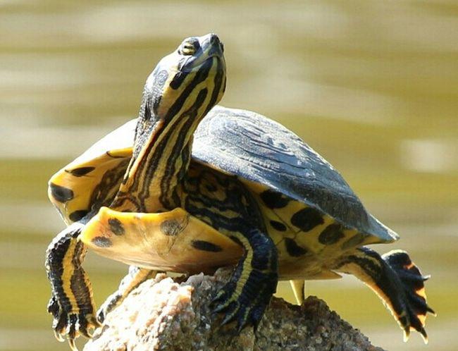 She takes sun...in beatitude Beatitudes Turtle 🐢 Turtles Tartarughe Tartaruga Sardinia Sardegna Italy  EyeEm Animal Lover Eyeem Animals Turtle Love Ta