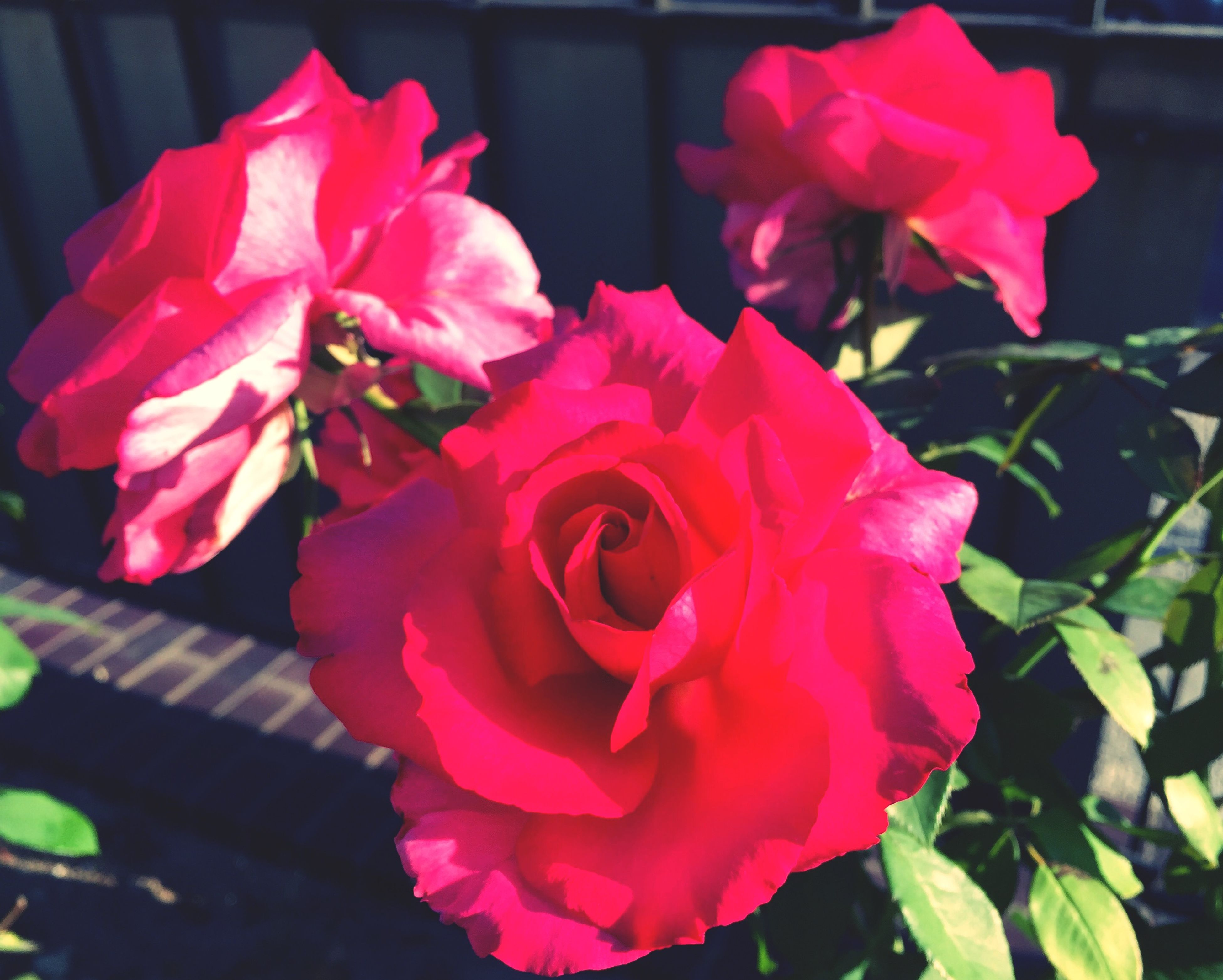 flower, petal, freshness, fragility, flower head, beauty in nature, pink color, growth, rose - flower, close-up, blooming, nature, plant, leaf, focus on foreground, red, in bloom, indoors, rose, day