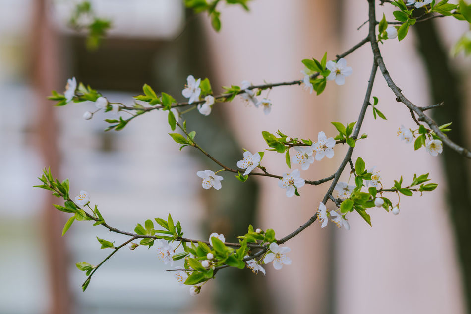 White Blossoms Beauty In Nature Blossoms  Close-up Day Flower Focus On Foreground Fragility Freshness Green Color Growth Leaf Nature No People Outdoors Plant Spring Blossoms