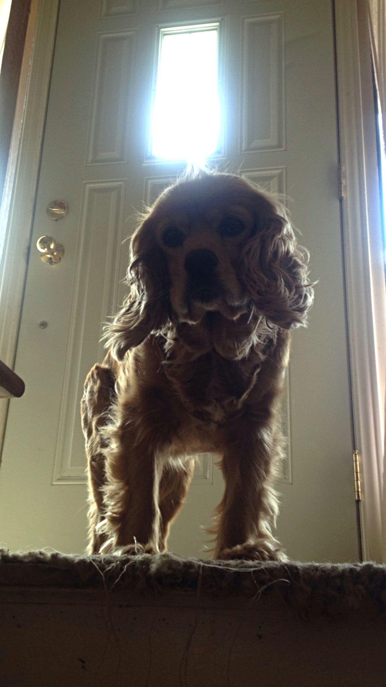 Dog MyGIRL Pets Indoors  Sunlight Door Spring Window Cockerspaniel Sadie Babygirl