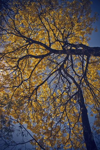 Low Angle View Tree Growth Beauty In Nature Day Nature No People Landscape_photography Brazil Lightday Daylight Contrast Light And Shadow FlowerTree Floweryellow Yellow Flower Tabebuia Tabebuia Aurea Close-up Tree Trunk Yellow