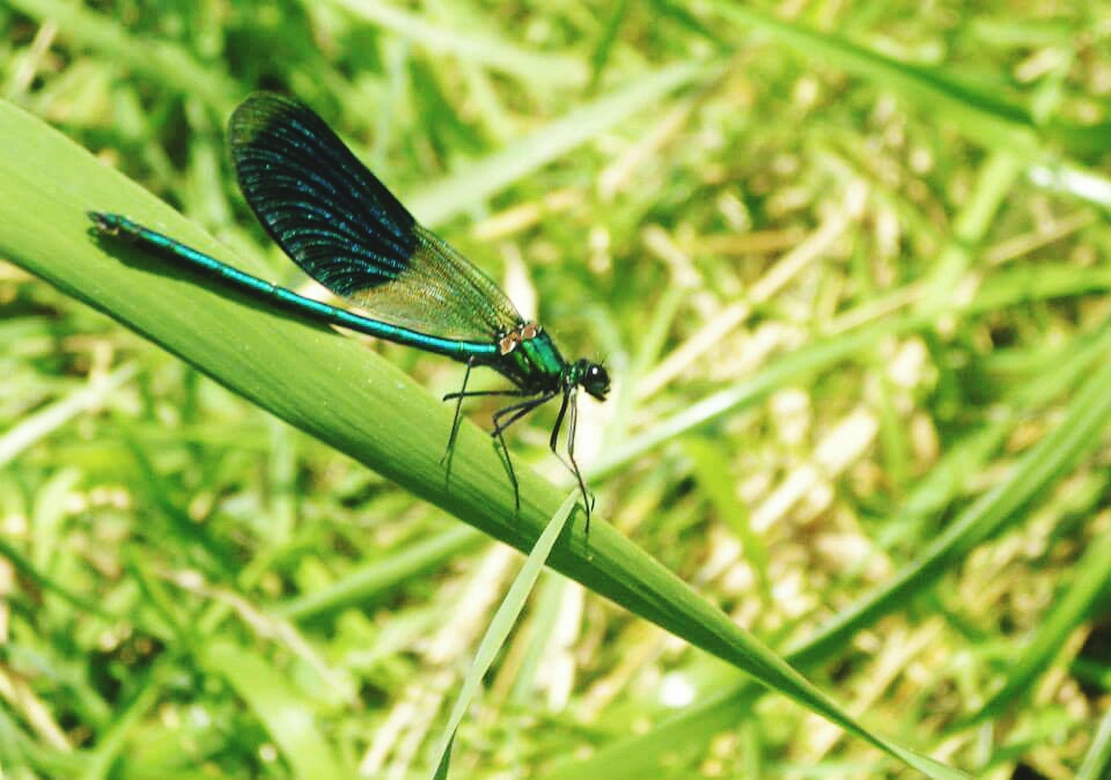 animals in the wild, insect, animal themes, one animal, wildlife, close-up, focus on foreground, dragonfly, green color, plant, selective focus, damselfly, nature, outdoors, day, blade of grass, animal wing, no people, animal behavior, zoology