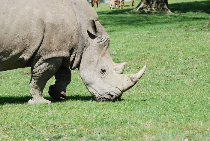 Animal Animal Photography Animal Themes Animals BIG Eating Grass Grey Happy Longleat Longleat Safari Park Munching Rino Safari Safari Animals Wrinkled Skin Wrinkles