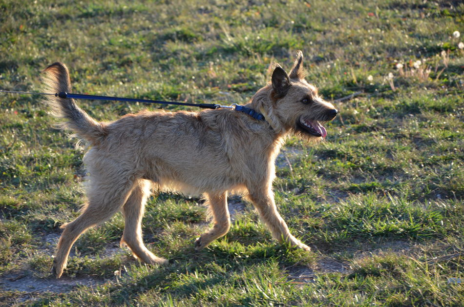 Animal Themes Collar Csipesz Dog Walking Field Grass Grass Grassy Green Color Mammal Nature Outdoors Pumi Snauzer Sunrise