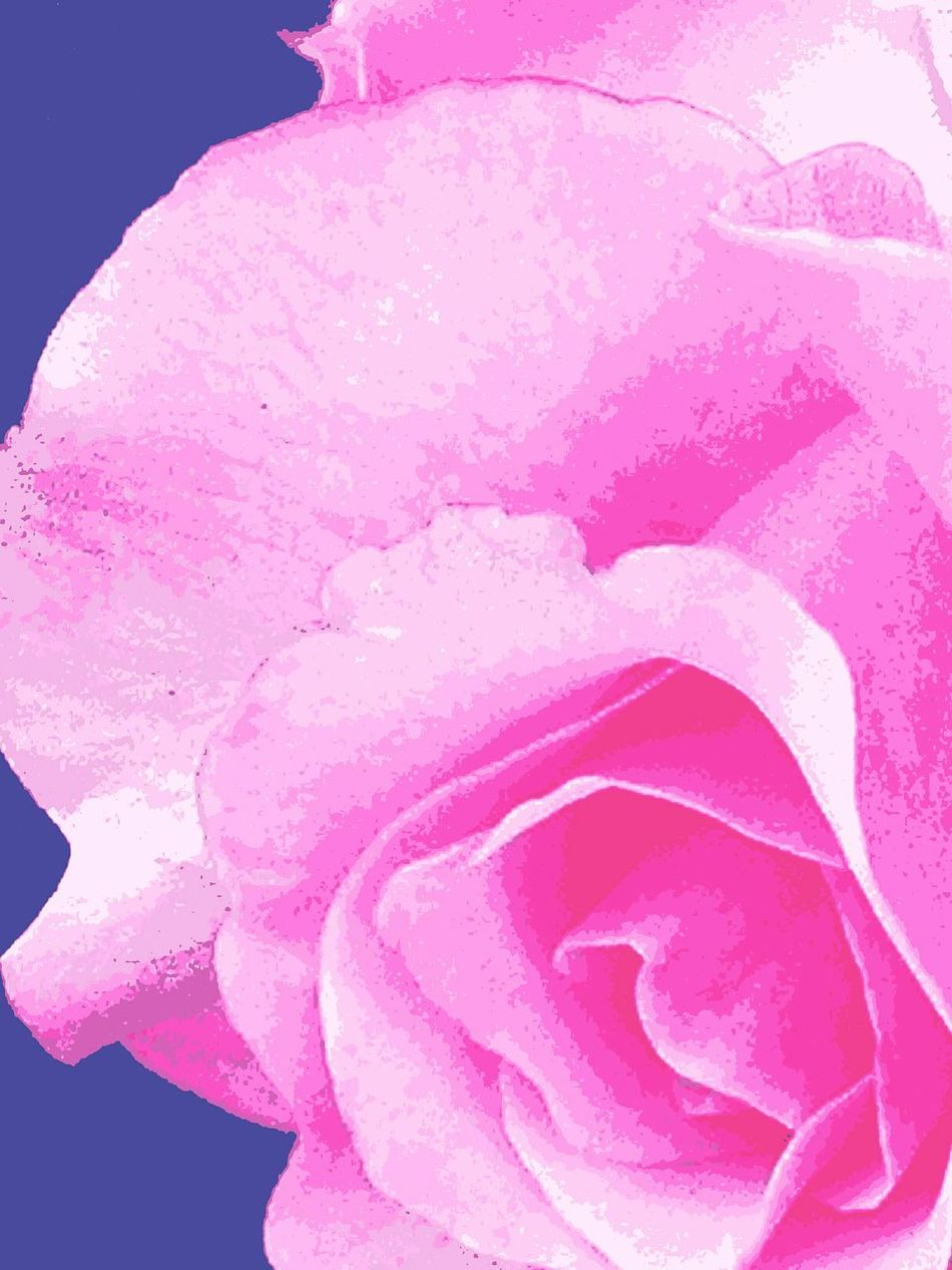 Eye4photography  Flower Power Nature Photography Nature Macro_flower Editing Photos Macro Photography Flower Flower Porn This Week On Eyeem EyeEm Best Edits Flower Photography Photo Of The Day EyeEm Nature Lover Flower Petals Still Life Rose🌹 Rose Perfection No People Polarizing Filter Editing Fun Polarized Effect Macro Nature Collection Pink Petals Eyeem Best Flower Collection EyeEm Flower