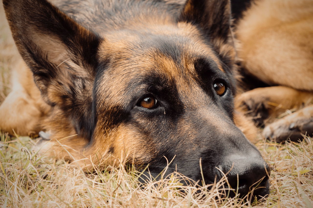 Talking eyes. Animal Themes Pets One Animal Domestic Animals Dog Close-up Looking At Camera Portrait Animal Head  Focus On Foreground Relaxation Lying Down Day No People Germanshepherd Animals Animal Posing German Sheperd Curiosity Animal