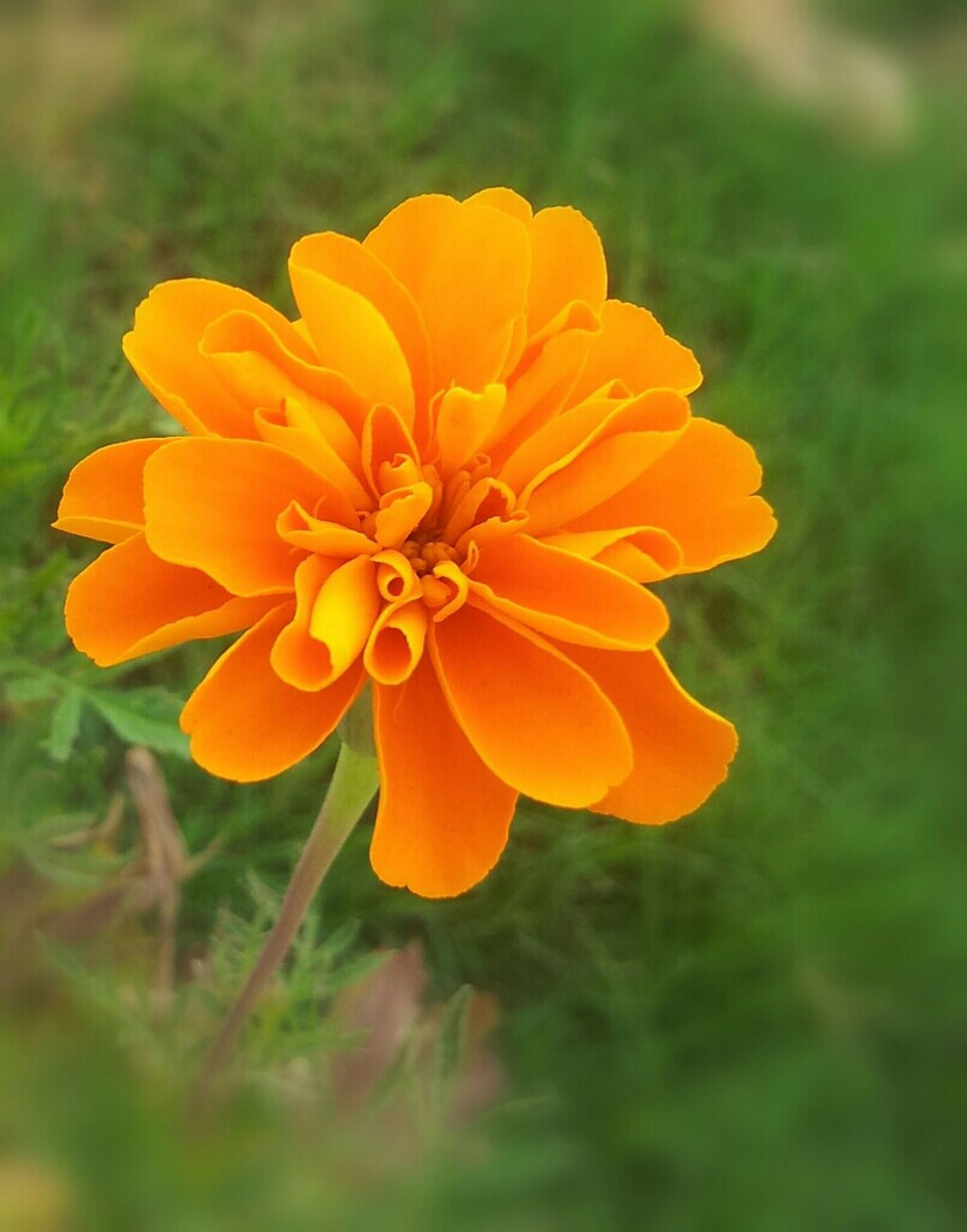 flower, petal, freshness, flower head, fragility, yellow, beauty in nature, growth, focus on foreground, close-up, blooming, nature, orange color, plant, single flower, in bloom, pollen, field, blossom, outdoors
