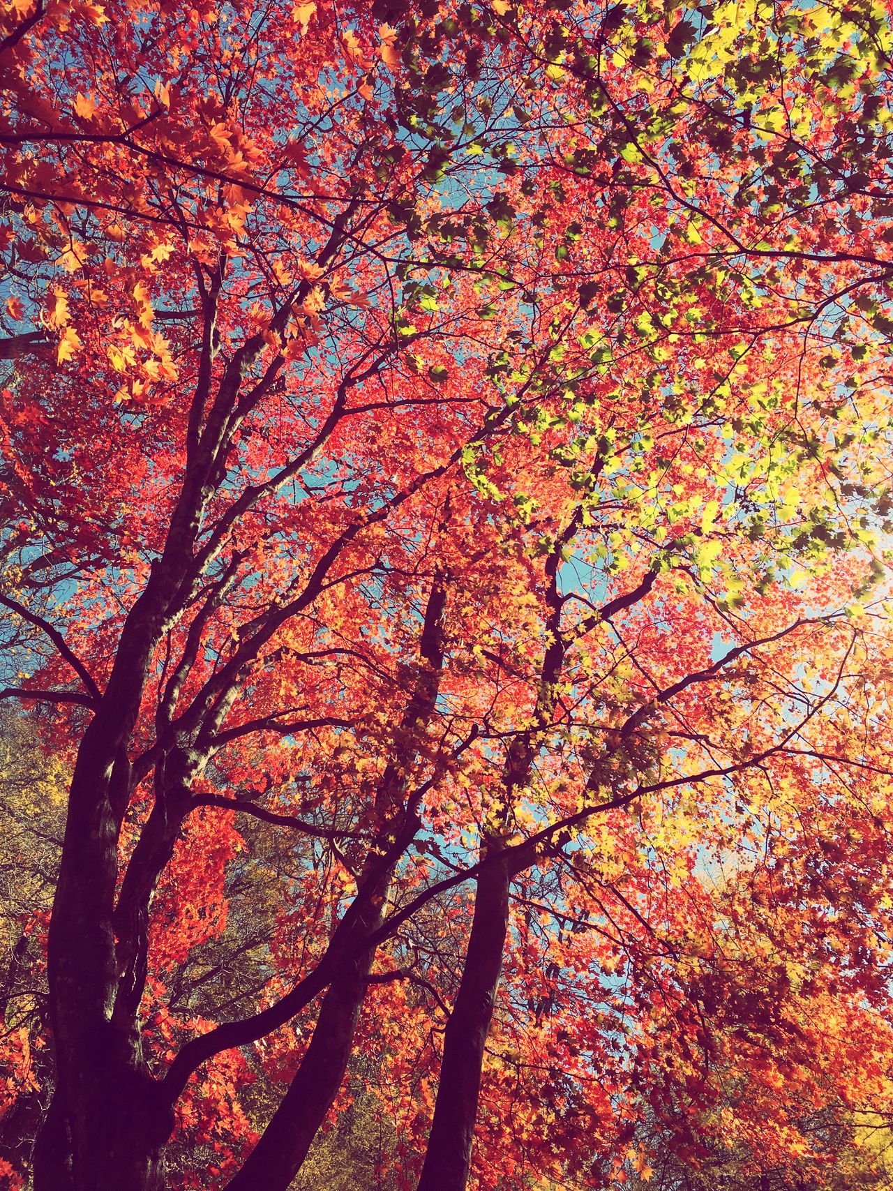Sunlight Maple Autumn Autumn🍁🍁🍁 Autumn Colors Eye4photography  IPhoneography Enjoying Life Forest EyeEm Best Shots EyeEm Nature Lover The Great Outdoors - 2016 EyeEm Awards EyeEm Gallery EyeEm Best Shots - Nature Nature Nature Photography Naturelovers Nature_collection
