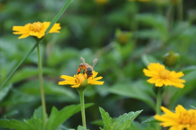HoneyBee Bee Daisy Daisy Flower Nature Natural Natural Beauty Nature_collection Nature Photography Flower Flowers Flower Collection Flower Photography Animal GreenGreen Nature Green Leaves Plants Plant Plants And Flowers Insect Photo Insect Photography Insects Collection Insect Colour Of Life
