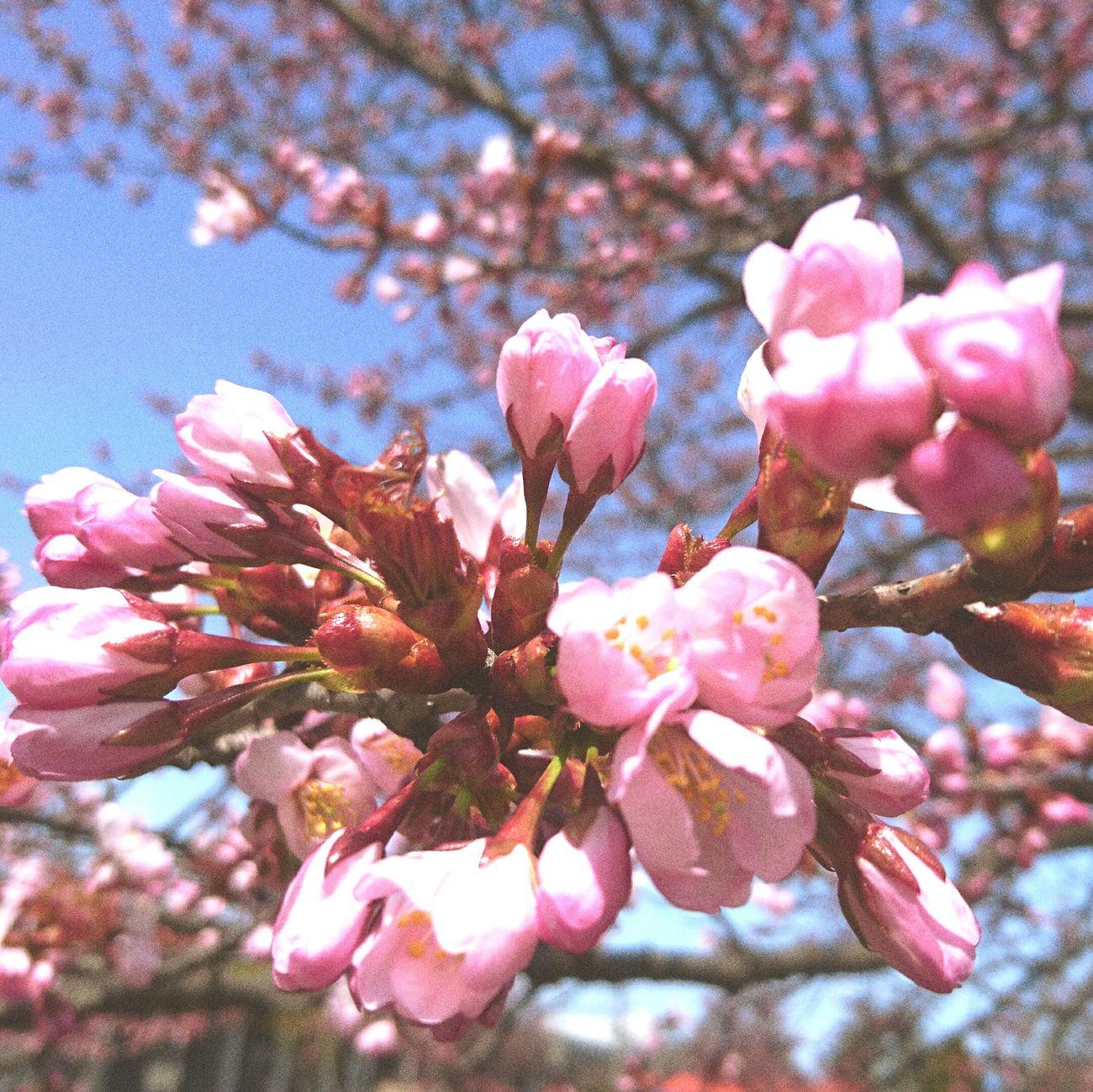 実家近く 桜の木 お散歩Photo 千歳市にて 加工あり