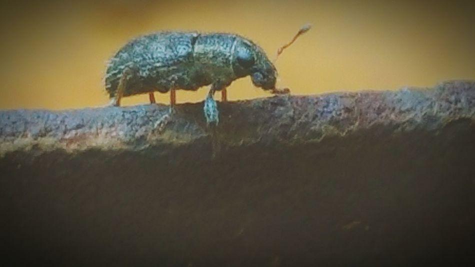 Exoskeleton Beetle Close Up Macro Tiny Bug Spiny Bug Antenni
