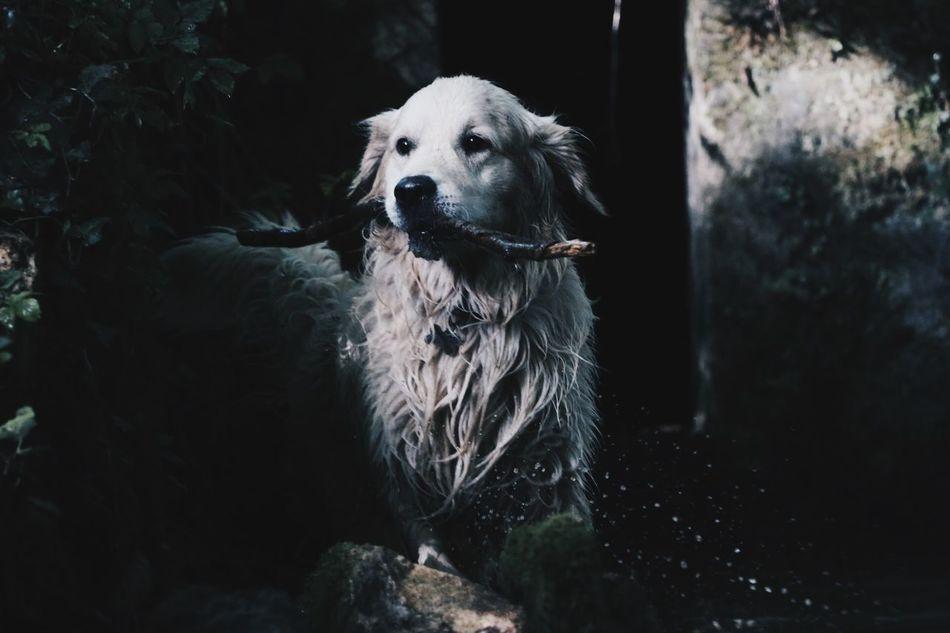 Service Animals EyeEm Dogs Golden Retriever My Dog Is A Model  Ghiro Nature Untold Stories Getting Creative