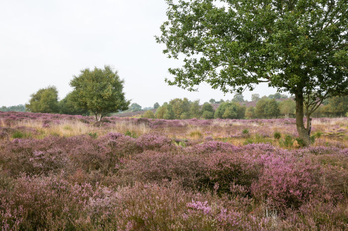 Heather in full bloom at Dunwich, Suffolk, England Bracken Heath Moon Beauty In Nature Field Flower Freshness Heather Heathland  Landscape National Trust Nature No People Nt Outdoors Scenery Sky Tranquil Scene Tranquility