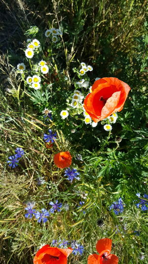 Red Flower White Flower Blue Flower Beauty In Nature Close-up Focus On Foreground Fragility Art Is Everywhere Personal Perspective Things Around Me Scenics Card Design Art Photgraphy Sunlight Light And Shadow On Tour Art Photo Plant Sunny Day Growth Green Color Summertime Poppy Flowers Leafs Grassy