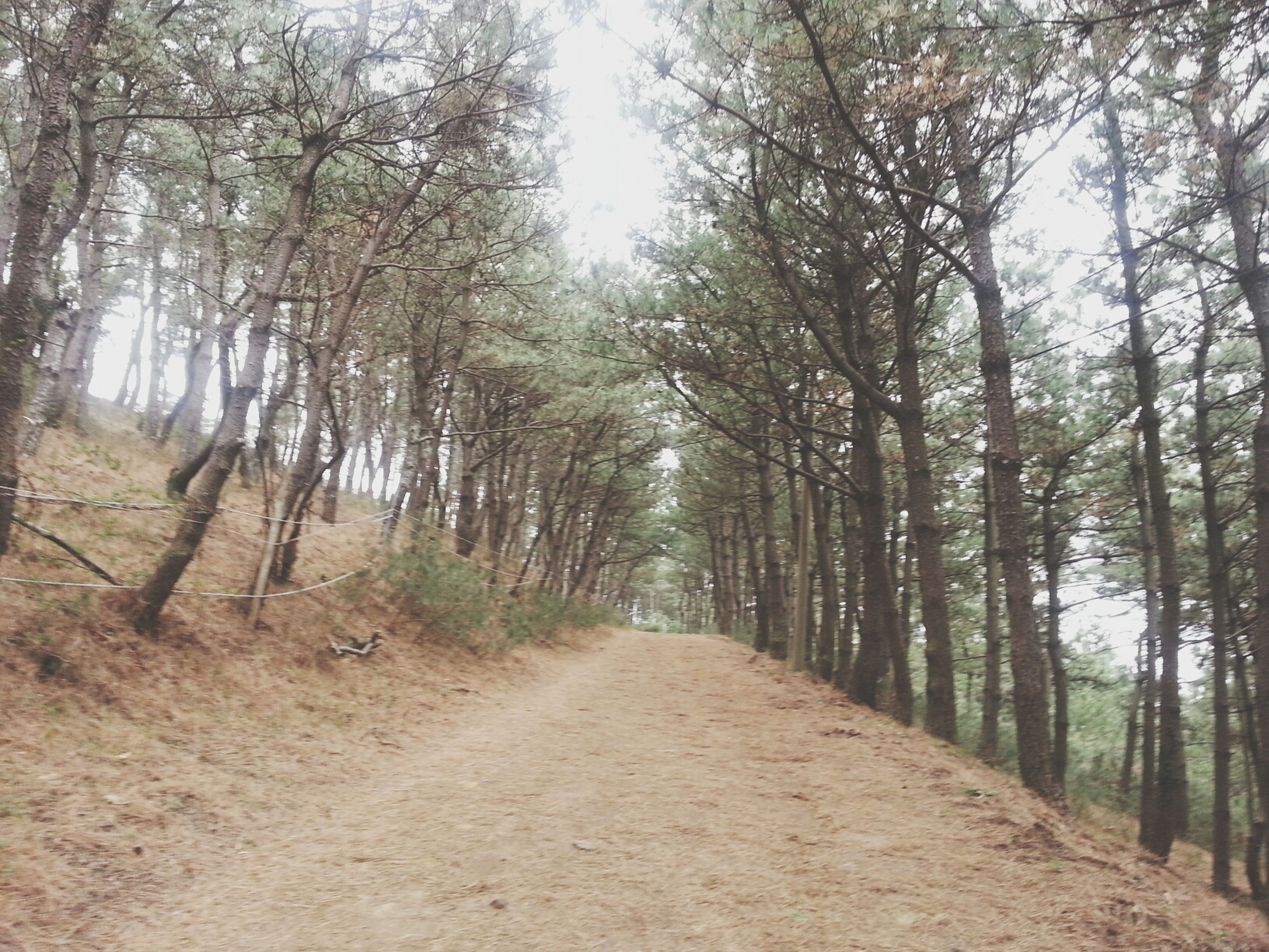 tree, the way forward, diminishing perspective, tranquility, forest, vanishing point, tranquil scene, dirt road, nature, tree trunk, woodland, growth, beauty in nature, landscape, scenics, transportation, sunlight, treelined, road, branch