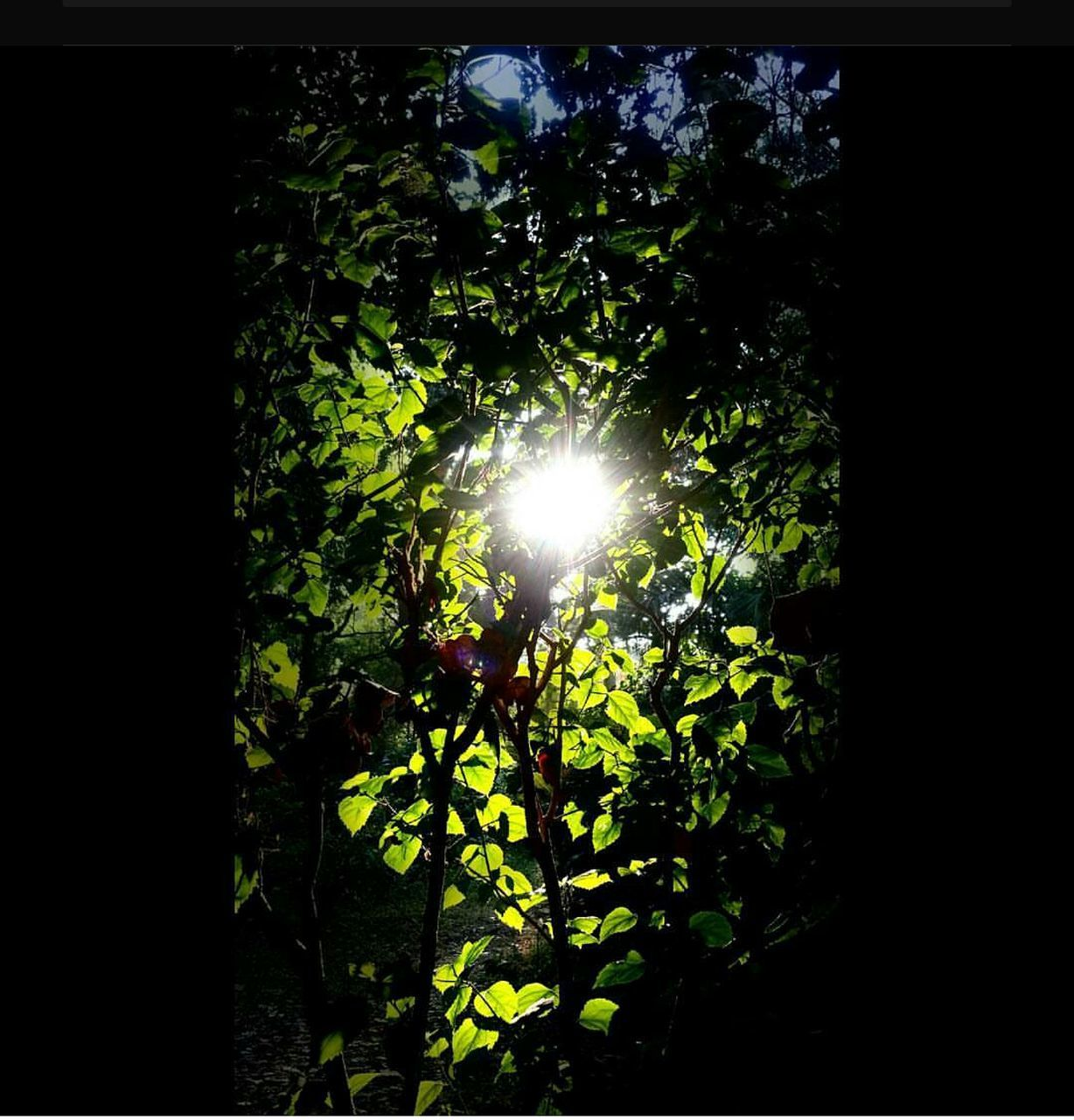 growth, sun, sunlight, nature, lens flare, sunbeam, no people, tree, bright, tranquility, plant, low angle view, outdoors, beauty in nature, leaf, day, close-up