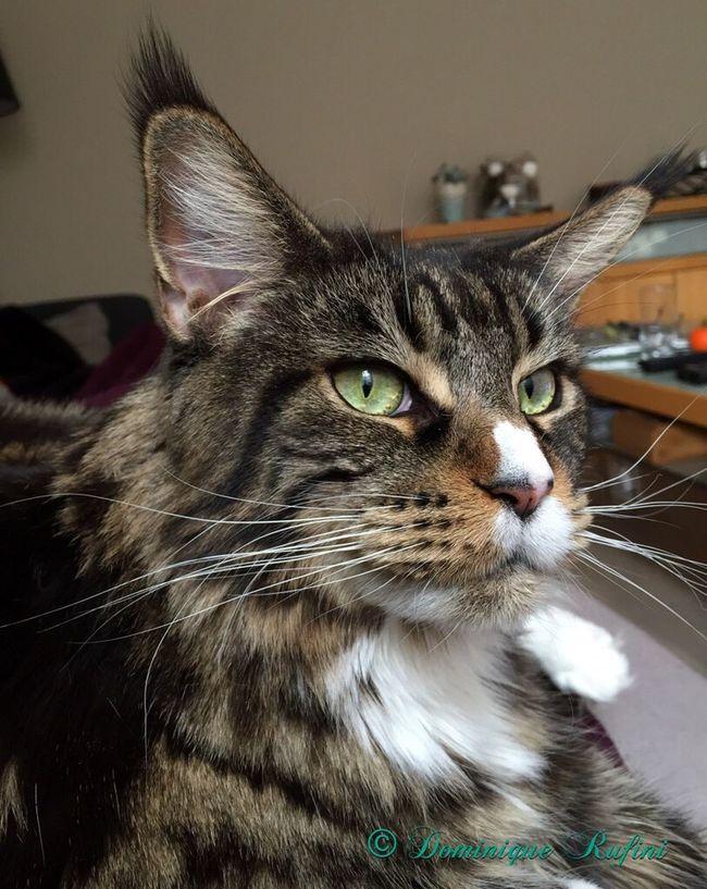 my Minka ♡♥♡♥ Love ♥ , Cat♡ Mainecoon Maine Coon Maine Coon Cat Maine Coon Cats , Cats 🐱 Catlover ♡ Catlove , Katze Katzen 💜 Katzen Katzenliebe , Chats Domestic Cat Hauskatze Beautiful Cat Beautiful Cats