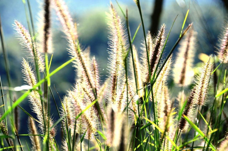 Meadows Meadows And Fields Grass Field Sunlight Light Grass Backlight Timothy Grass Relaxing Beauty In Nature Nature Miles Away Thailand