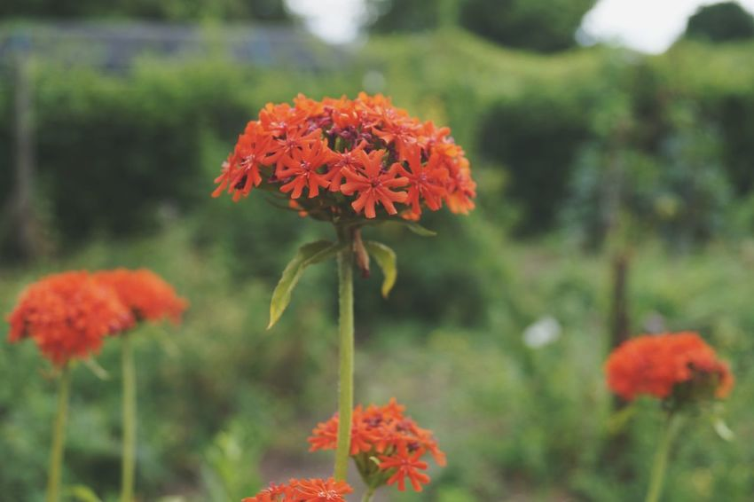 Flowers Flower Plant Flower Head Nature Fragility Beauty In Nature Petal Outdoors No People Freshness Close-up Zinnia  Marigold Growth Looking Close Idyllic Summer Atmospheric Mood Green Color Leaf Nature Day Macro Red Flower Garden