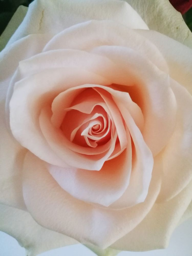 Pink Color Rose🌹 Flower EyeEmNewHere