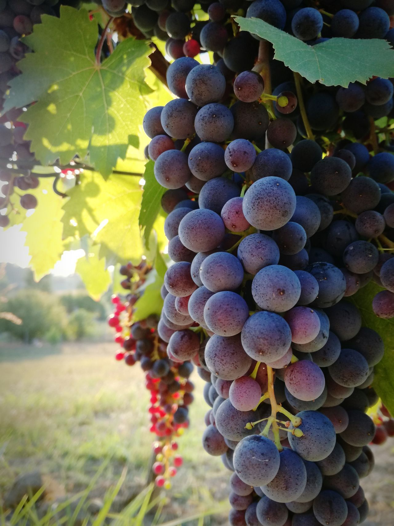 Fruit Grape Winemaking Vine Selective Focus Nature GooddayWine Wine Tasting Wine Time Sunset Beautifulnature Moment Eyemphotography Evening View Instalike Instanature Naturelovers Vigna Grappolo Vendemmia