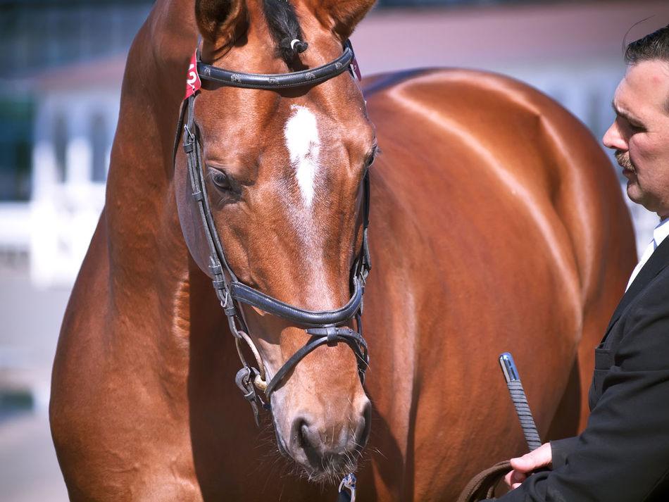 Animal Themes Bay Horse Man Portrtait Spoed Sportive