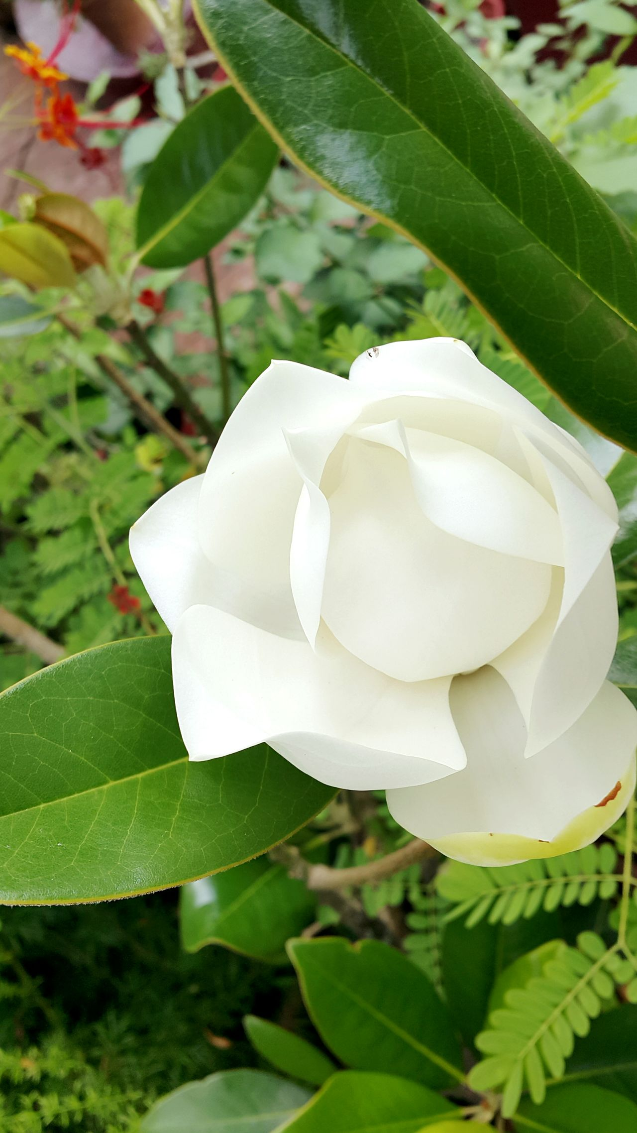 White Flower Prettg Rose? Taiwan Culture Hot Weather
