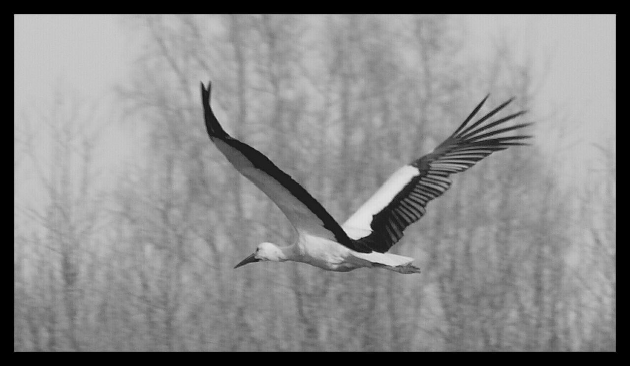 bird, spread wings, animal themes, animals in the wild, one animal, flying, nature, no people, focus on foreground, day, outdoors, full length, close-up, beauty in nature, sky