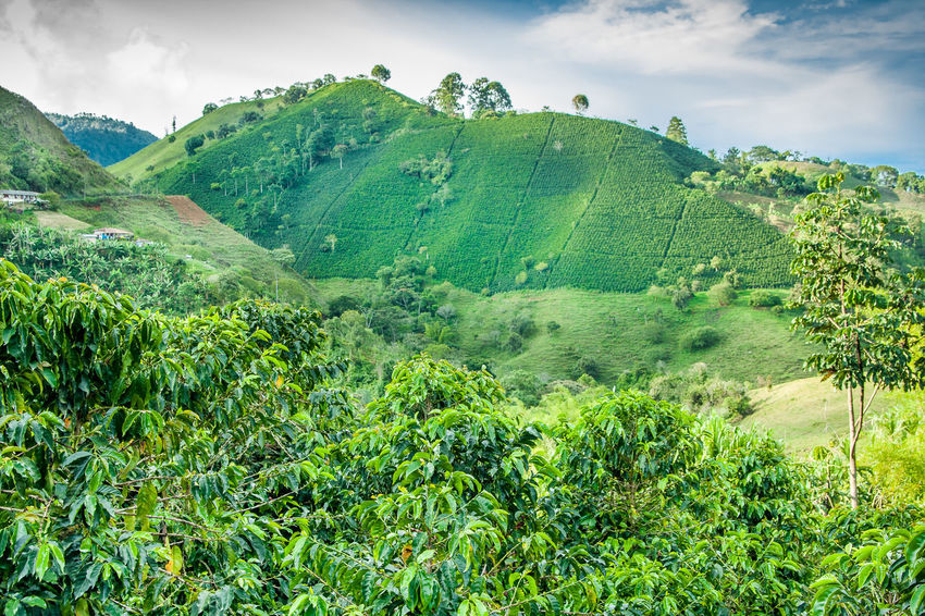 Coffee Plantation in Jerico, Colombia Antioquia Beauty In Nature Coffee Coffee Farm Coffee Field Coffee Harvest Coffee Mountain Coffee Plant Coffee Plantation Coffee Plantations Coffee Tree Colombia Day Green Color Growth Jerico Colombia Nature No People Outdoors South America