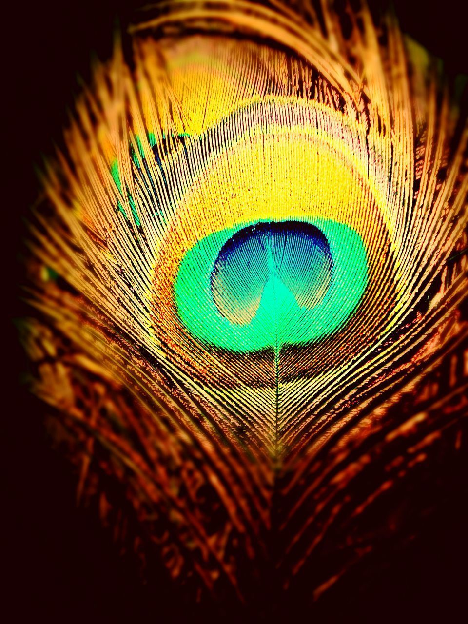 peacock, peacock feather, feather, close-up, fragility, lightweight, softness, no people, fanned out, bird, blue, beauty in nature, backgrounds, studio shot, nature, multi colored, full frame, black background, animal themes, beauty, vanity, outdoors, day