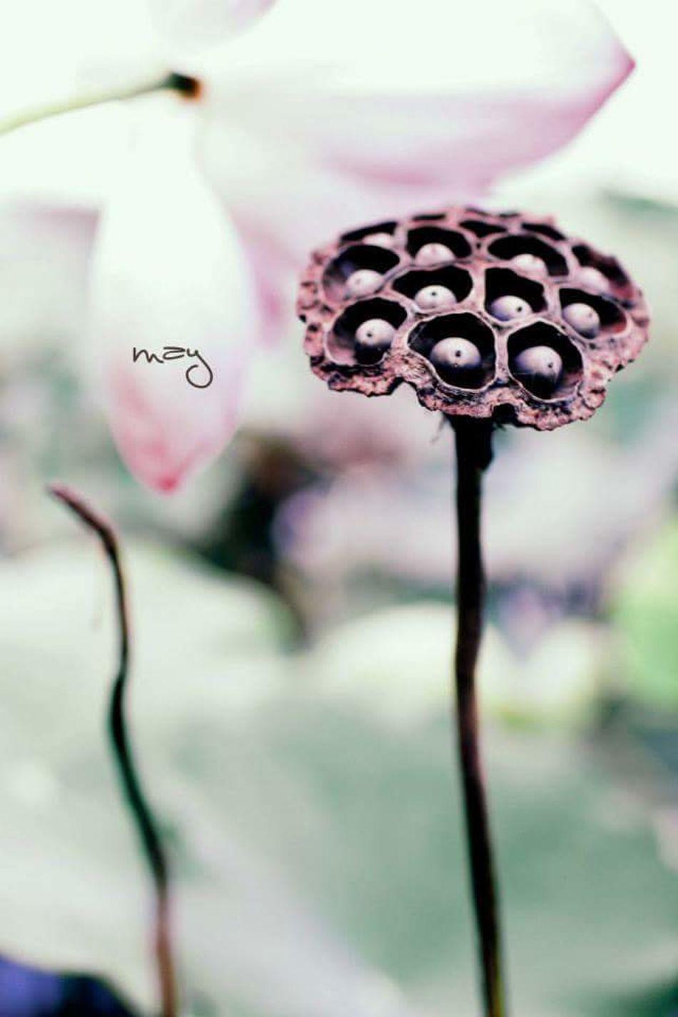 Summer gone... Lotus♥ Lotus Flower Summer Memories 🌄 ĐồngTháp Dongthap Vietnam Vietnamcharm