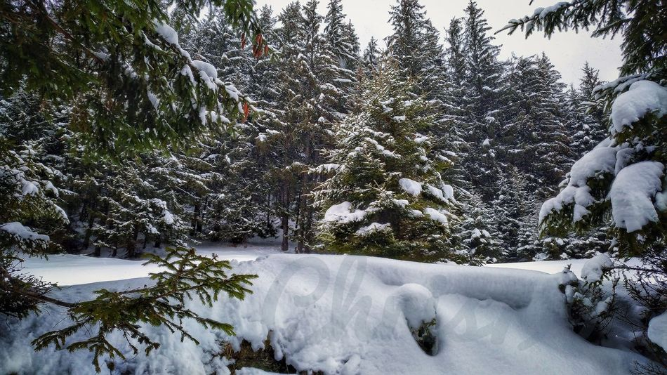 Snow Winter Cold Temperature Tree Nature Day Outdoors No People Beauty In Nature Growth Scenics Sky Frozen Snowcapped Mountain Snow Covered Trees Vintage Photography Pines Forest Forest Landscape Pinaceae Tree Snowy Mountains Tree Trunk Snowing Romania