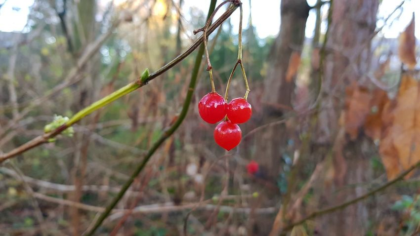 Red Tree Fruit Branch Hanging Day Outdoors Nature No People Food And Drink Beauty In Nature Close-up Growth Winter Food Freshness