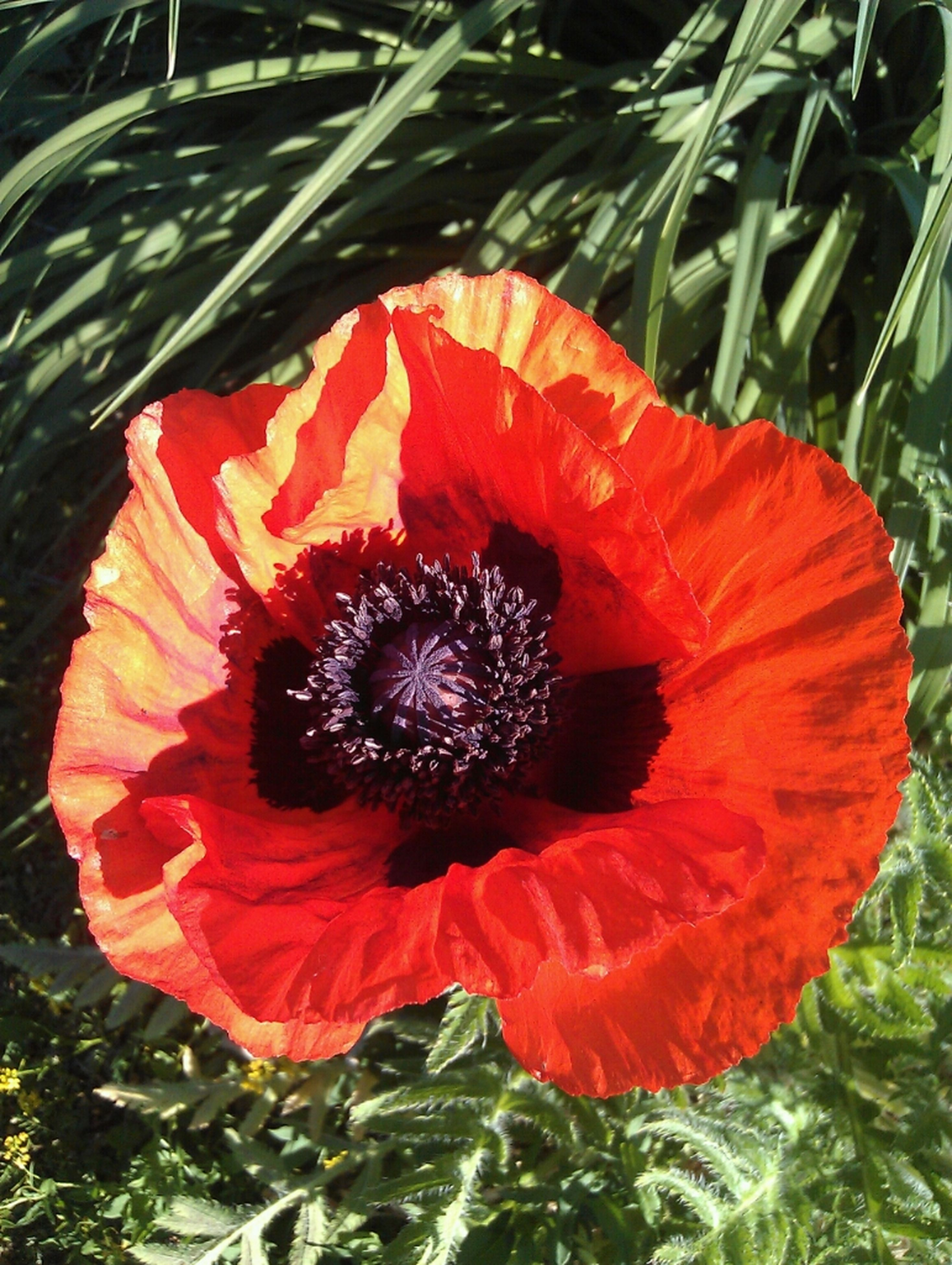 flower, flower head, freshness, petal, red, fragility, growth, single flower, beauty in nature, pollen, blooming, plant, nature, close-up, high angle view, poppy, orange color, hibiscus, stamen, outdoors
