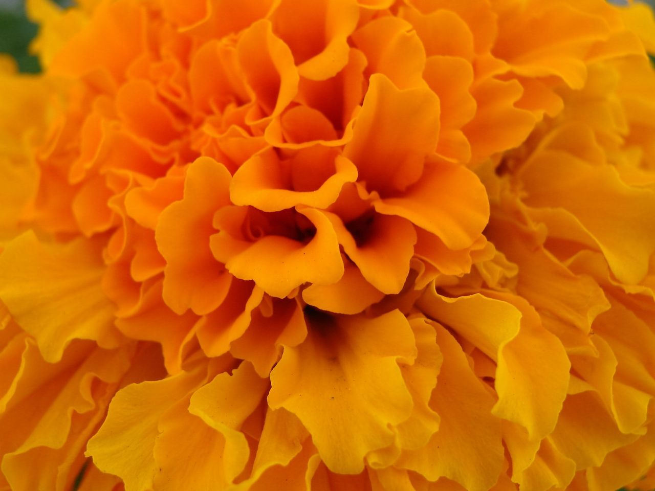 flower, petal, beauty in nature, fragility, flower head, nature, freshness, backgrounds, full frame, no people, close-up, plant, growth, yellow, blooming, outdoors, day, marigold