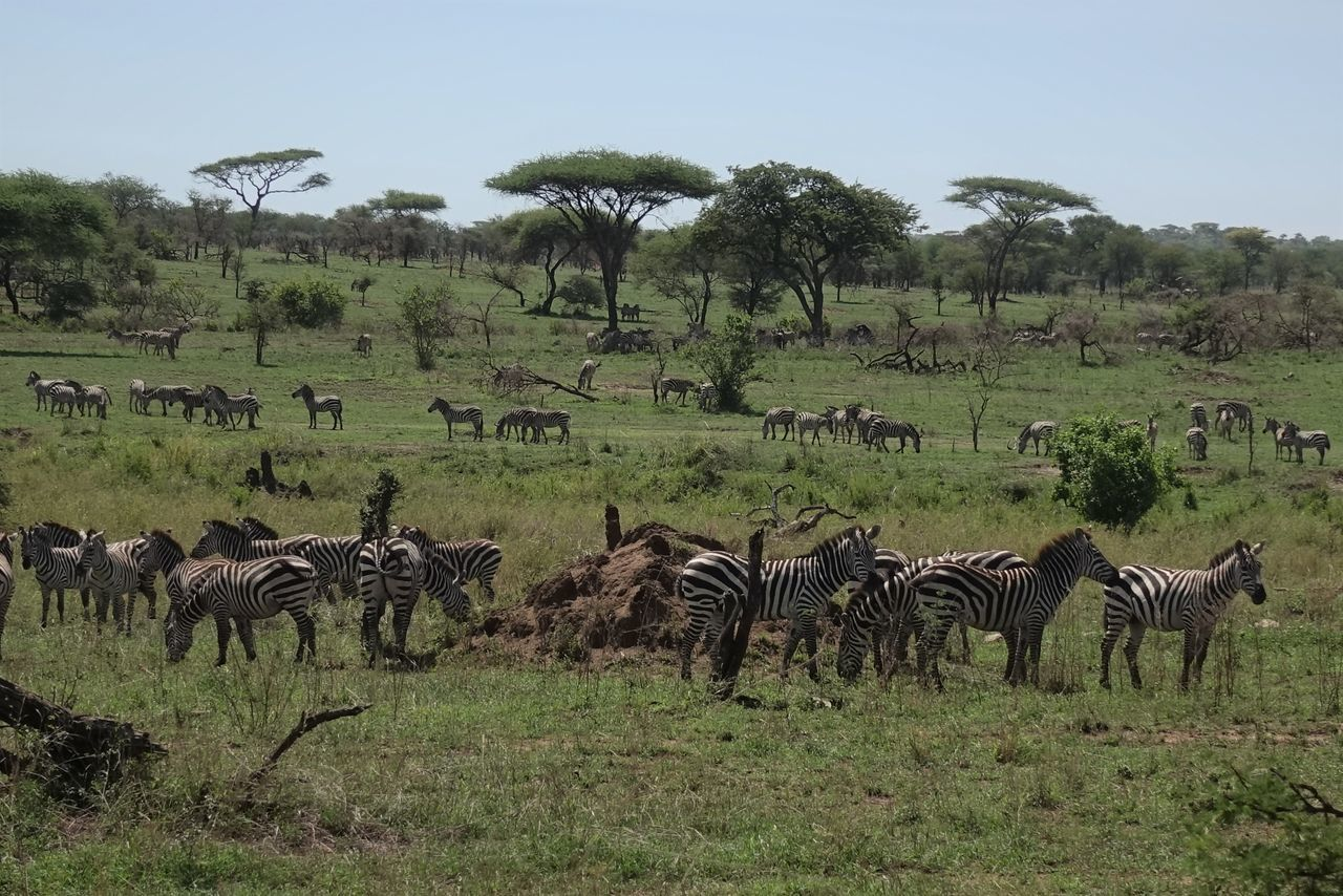 Serengeti Animal Themes Animals In The Wild Day Grass Herd Large Group Of Animals Mammal Nature No People Outdoors Serengeti National Park Sky Tree Zebras