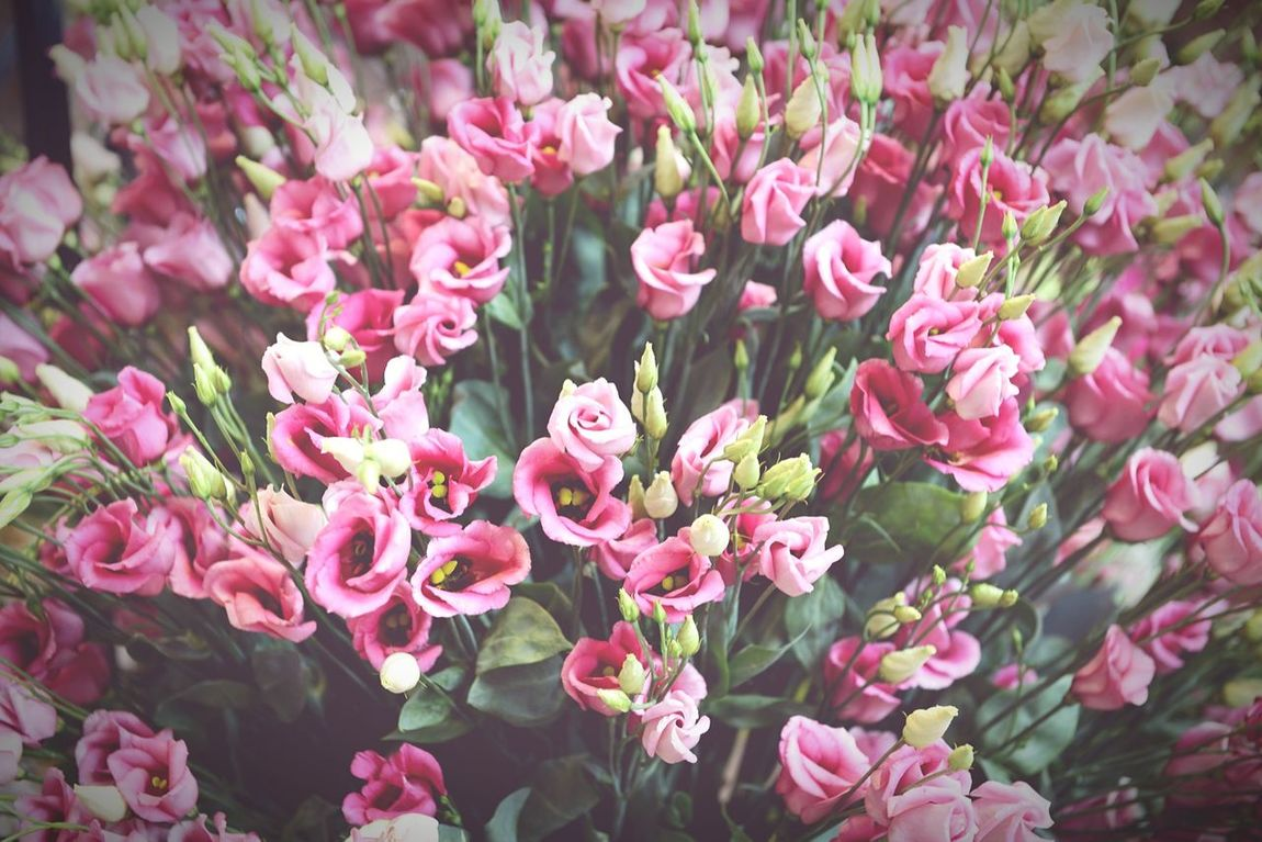 pink bunch of eustoma flowers.also known as lisianthus. fullframe Eustoma Full Frame Eustoma Lisianthus Lisianthus Eustoma Pink Flower